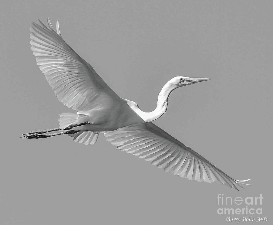 Grat white heron BW by Barry Bohn