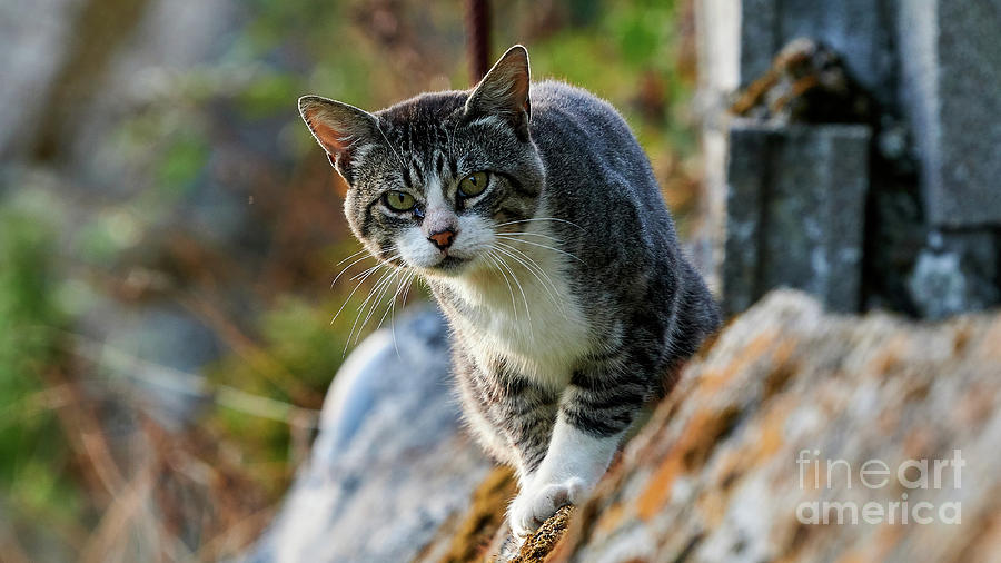 Gray and White Cat on a Wall Staring by Pablo Avanzini