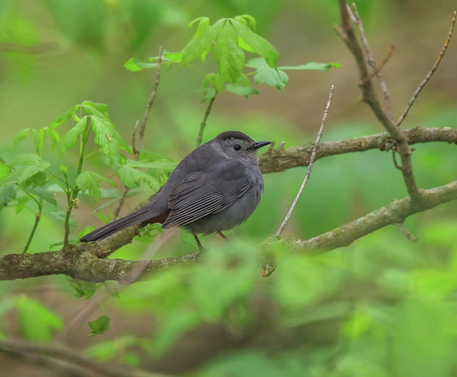 Gray Catbird In Green Leaves by Dan Sproul