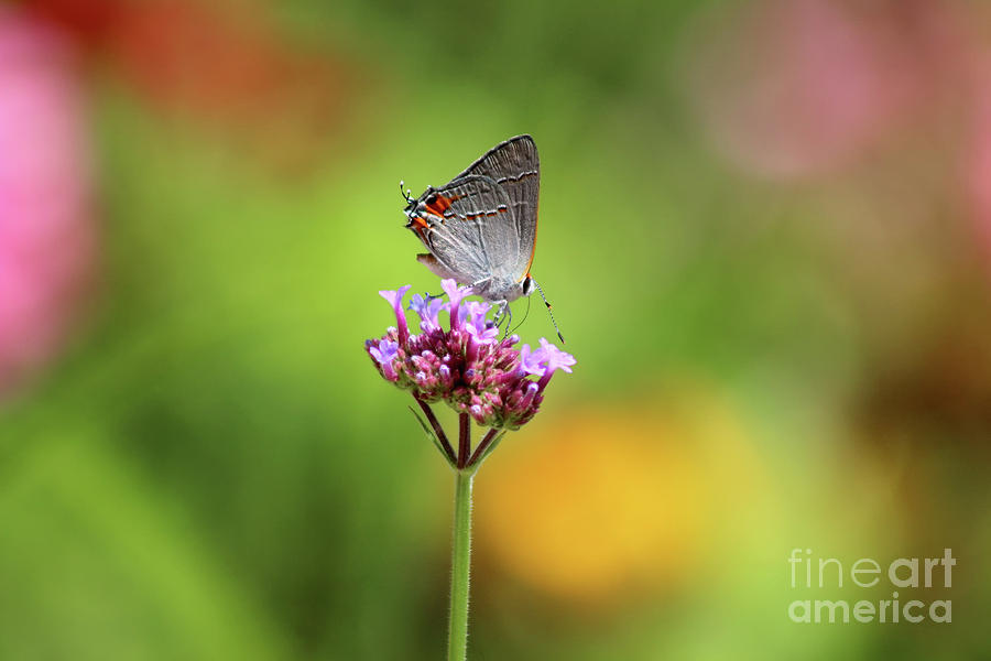 Gray Hairstreak Butterfly in Summer by Karen Adams