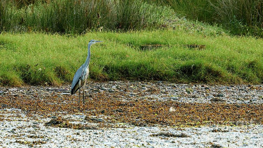 Gray Heron Standing at Beiramar by Pablo Avanzini