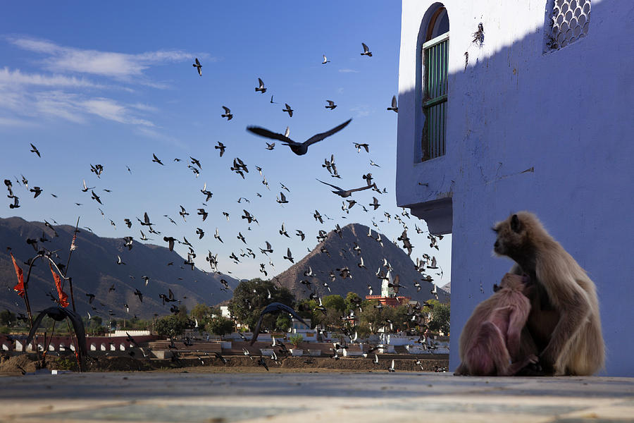 Gray Langurs And Pigeons Flying  Over Photograph by Marji Lang