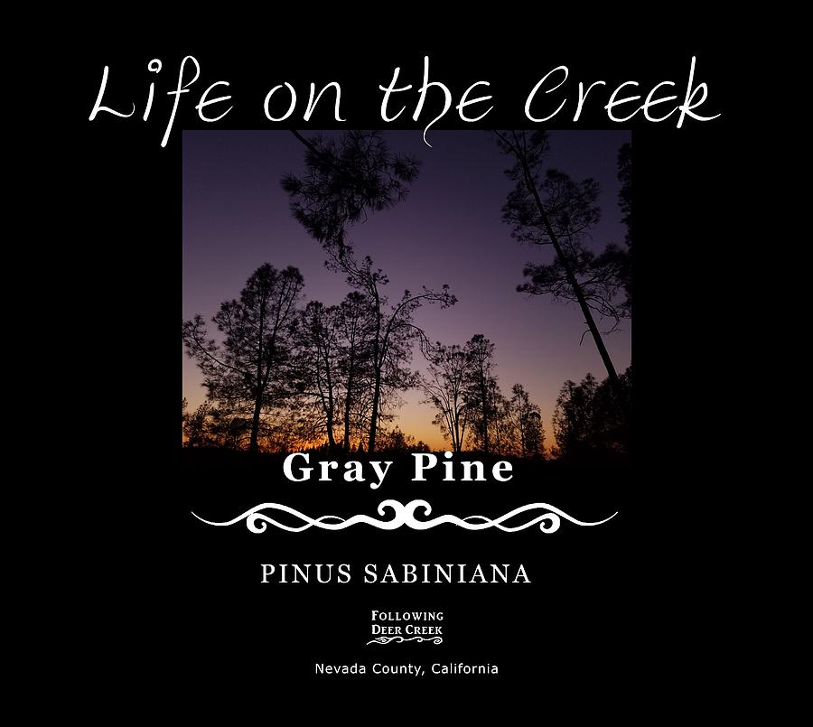 Gray Pine by Lisa Redfern