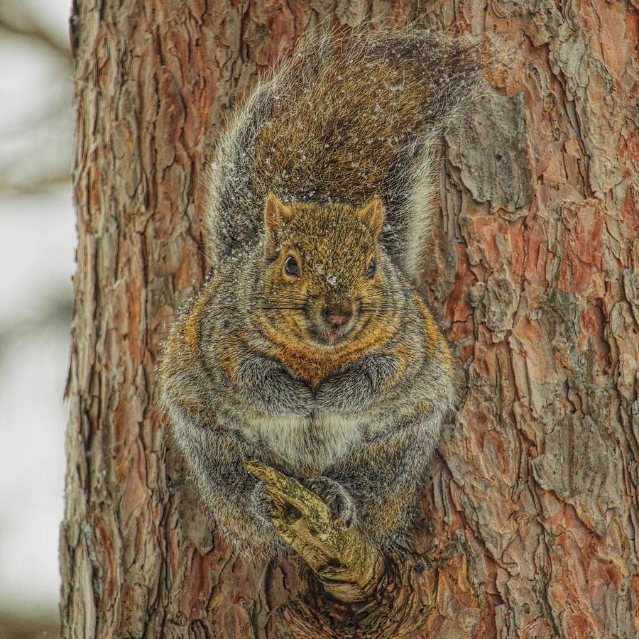 Gray Squirrel Portrait by Dale Kauzlaric