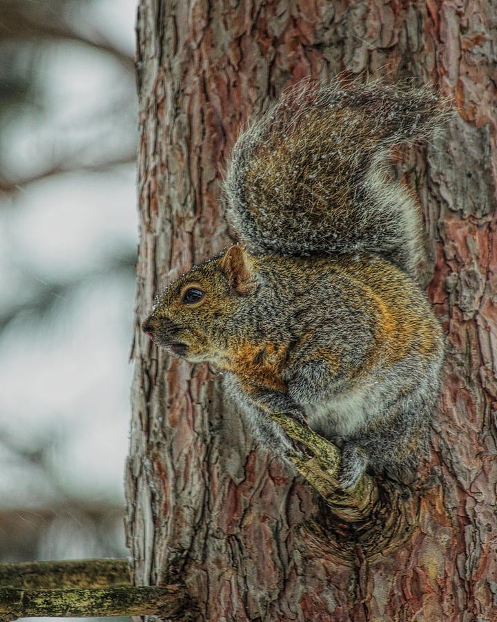 Gray Squirrel Profile by Dale Kauzlaric