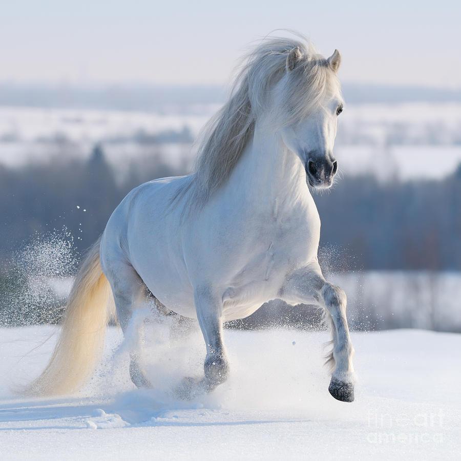 Equestrian Photograph - Gray Welsh Pony Galloping On Snow Hill by Abramova Kseniya