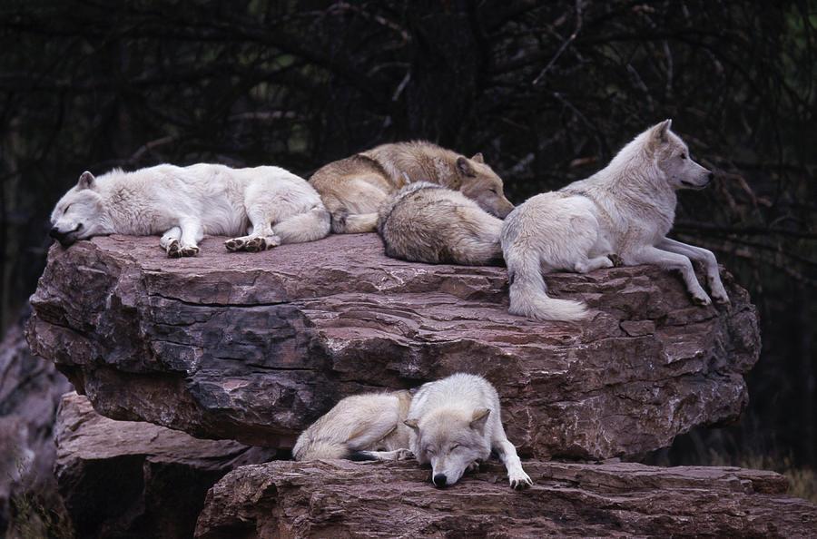 Gray Wolf, Canis Lupus Photograph by D. Robert Franz