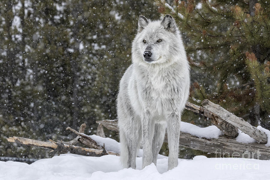 Osborn Photograph - Gray Wolf by David Osborn