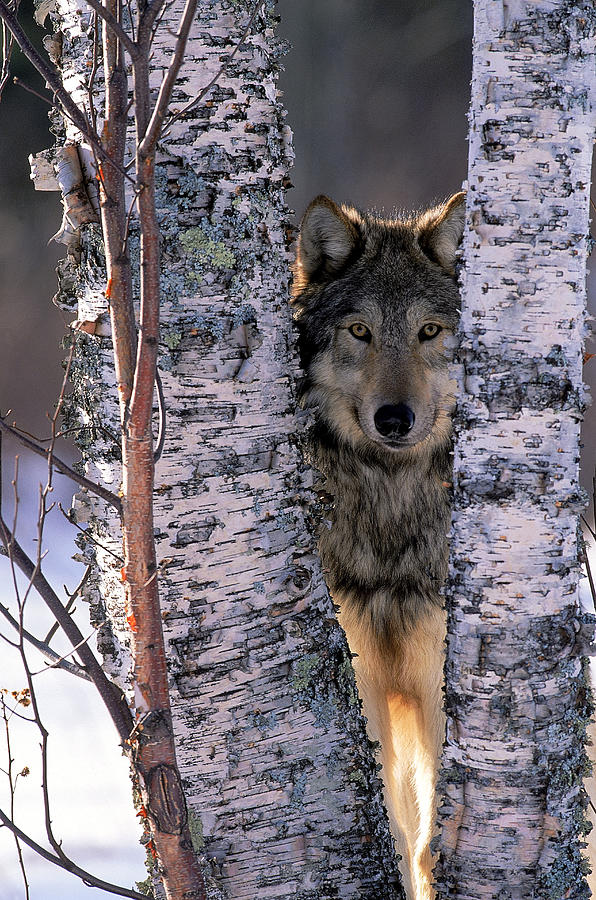 Gray Wolf Near Birch Tree Trunks, Canis Photograph by William Ervin