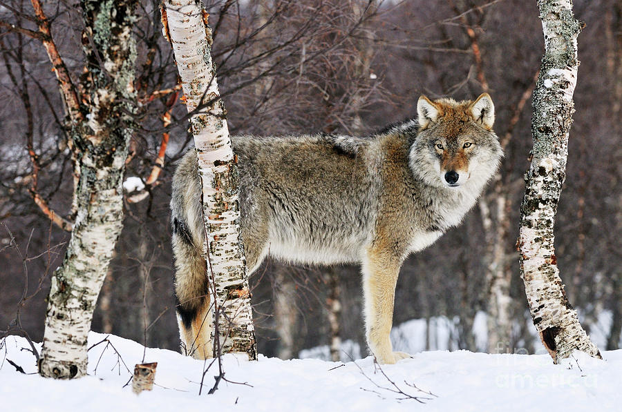Gray Wolf Norway by Jasper Doest