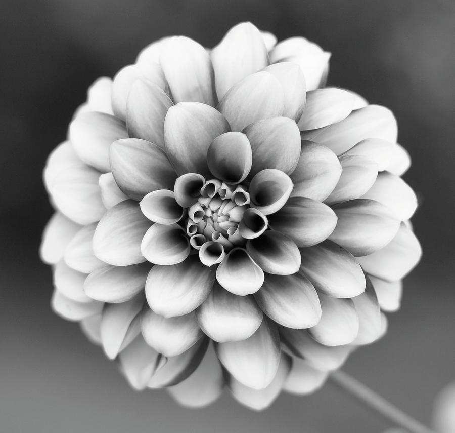 Graytones Flower Photograph by Photography På