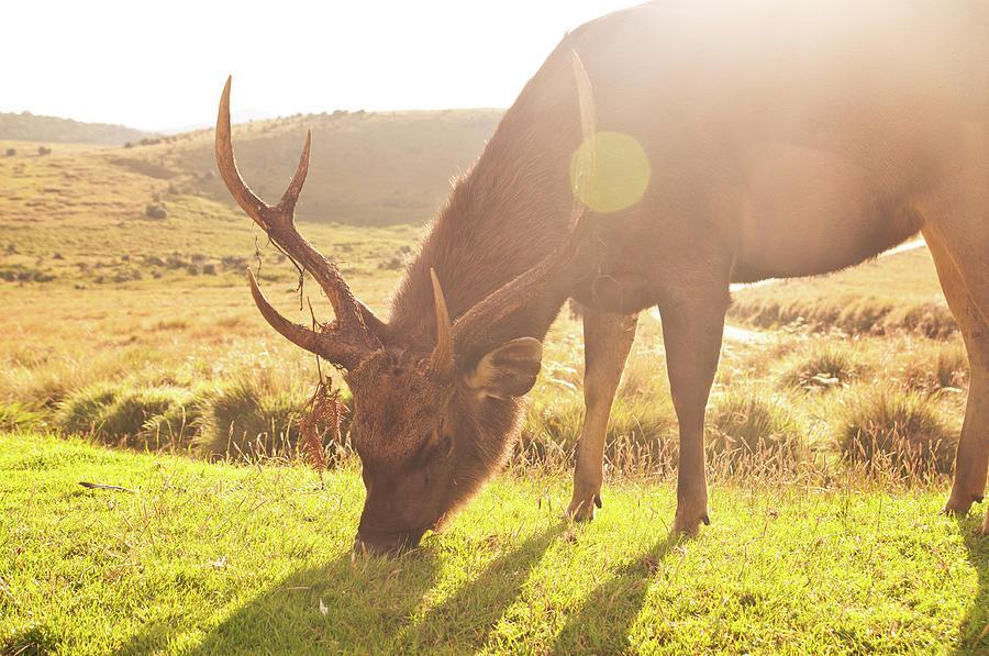 Grazing Deer Photograph by Flash Parker