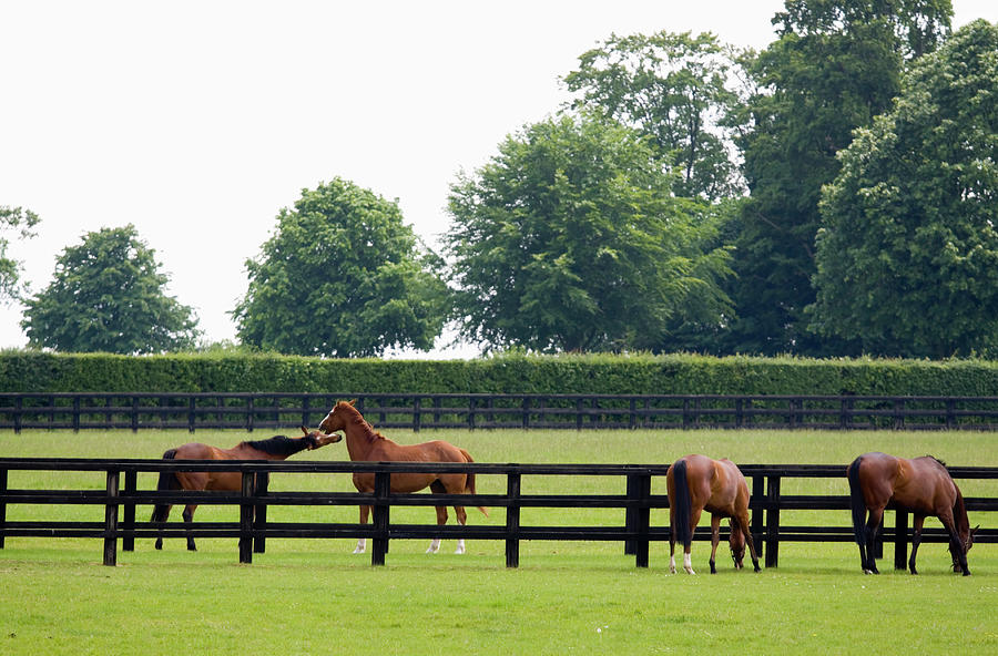 Grazing In The Paddock Photograph by Stocknshares