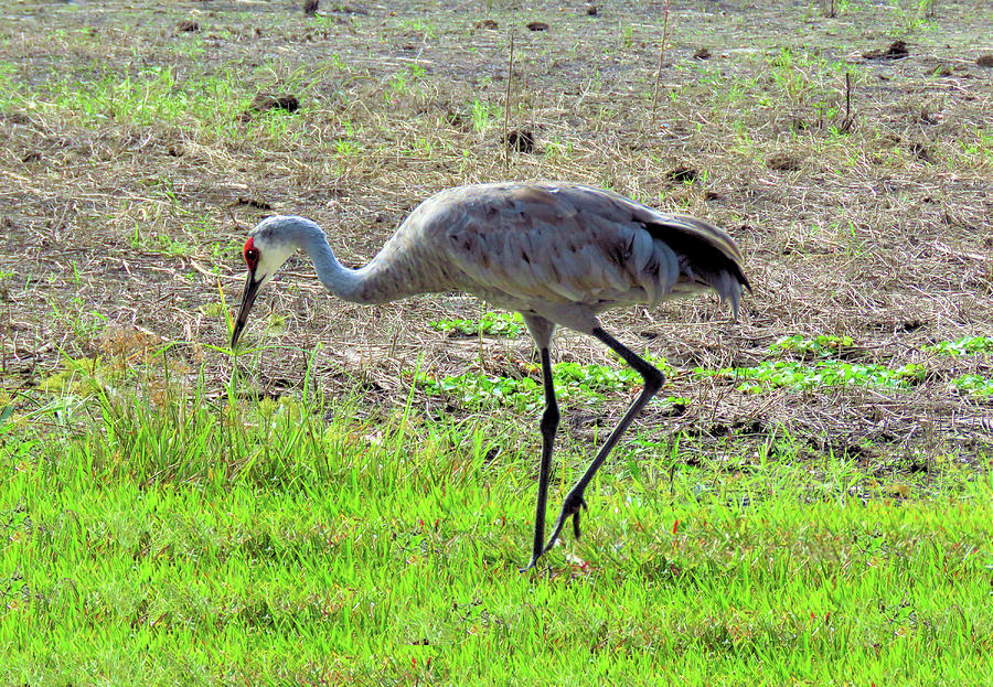 Bird Photograph - Grazing Sand Hill Crane by Rosalie Scanlon