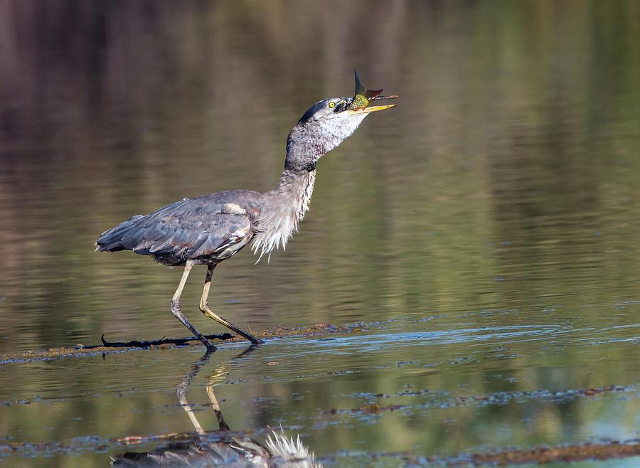 Great Blue Heron 0805-070119 by Tam Ryan
