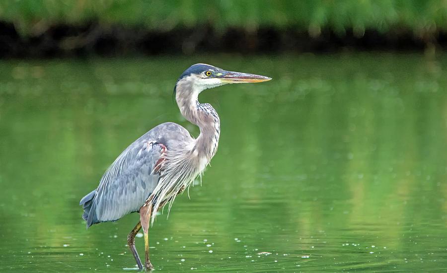 Great Blue Heron 2864-071619 by Tam Ryan