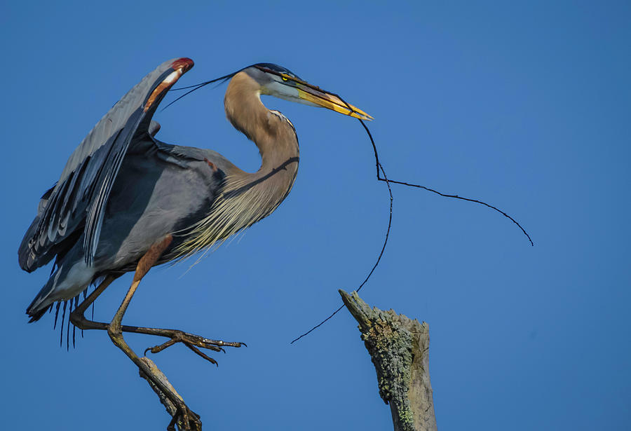Great Blue Heron 4034 by Donald Brown