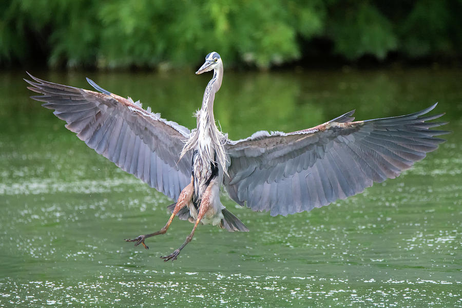 Great Blue Heron 6451-061319 by Tam Ryan