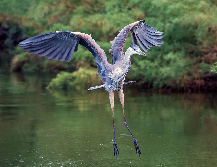 Great Blue Heron 7766-061719 by Tam Ryan