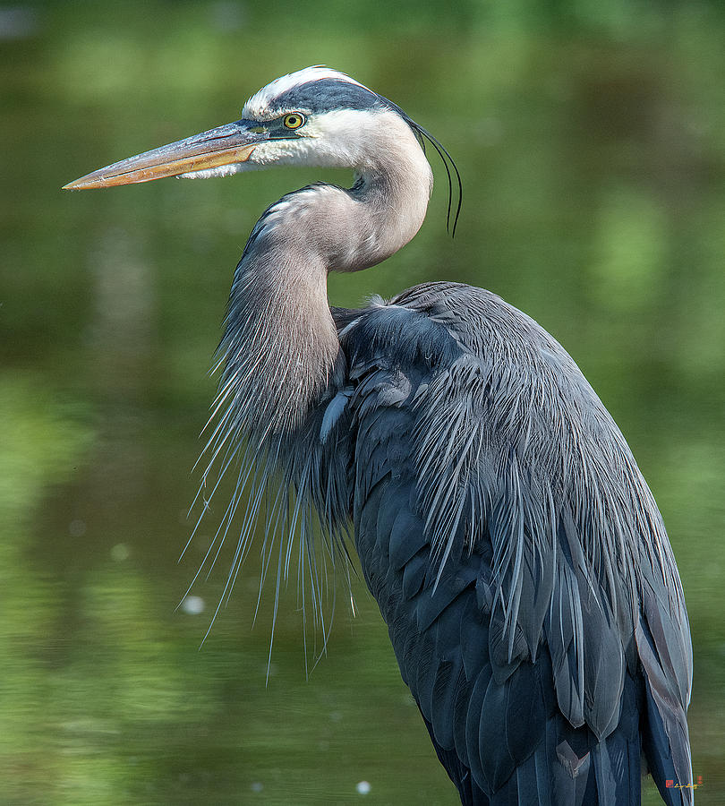 Great Blue Heron after Preening DMSB0157 by Gerry Gantt
