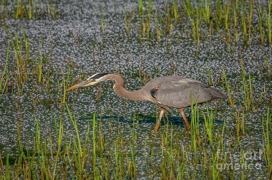 Great Blue Heron  by Alan Schroeder