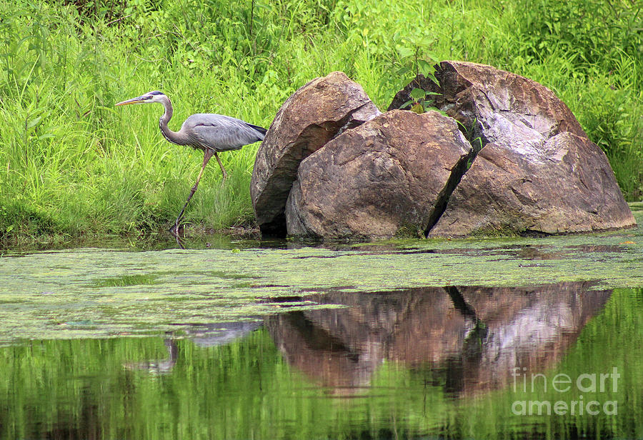 Great Blue Heron Photograph - Great Blue Heron And Boulder by Karen Adams