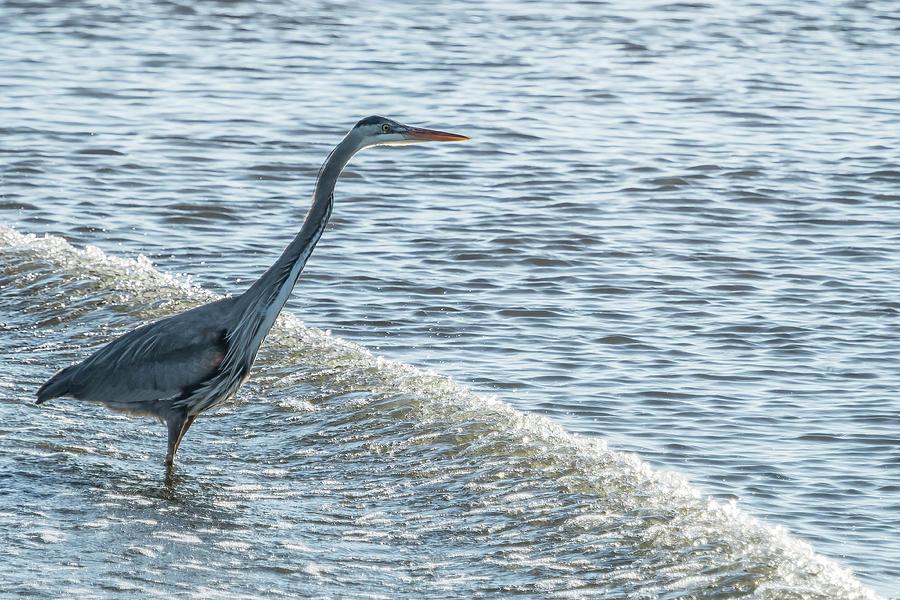 Great Blue Heron and Wave by Belinda Greb