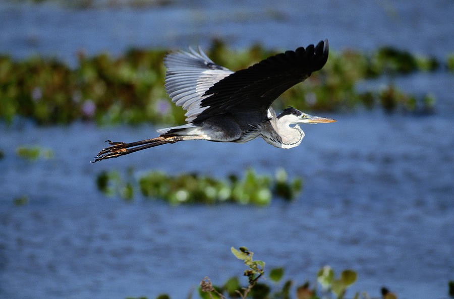 Great Blue Heron Ardea Herodias In Photograph by Art Wolfe