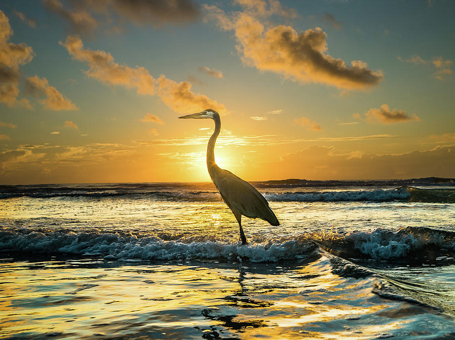 Great Blue Heron Photograph - Great Blue Heron at Cocoa Beach by Jason Sponseller