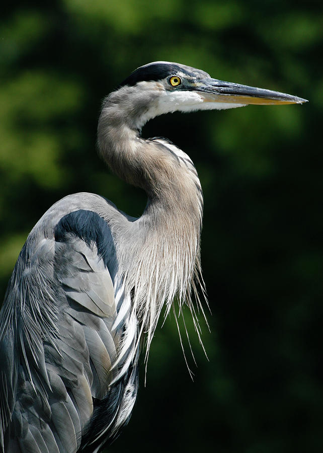 Great Blue Heron Photograph by Bill Swindaman