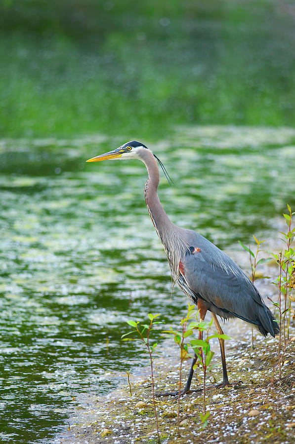 Great Blue Heron by the Waters Edge by Sharon Talson