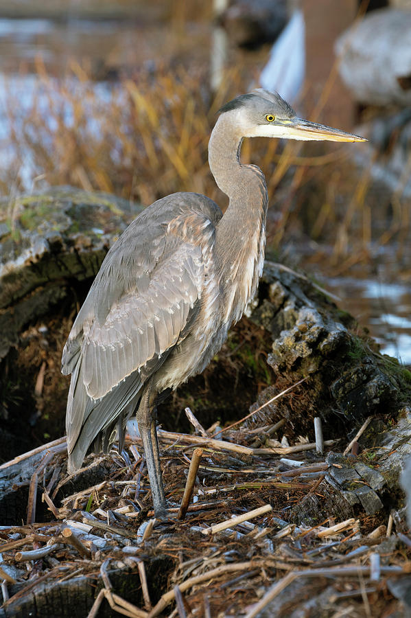 Great Blue Heron by Catherine Avilez