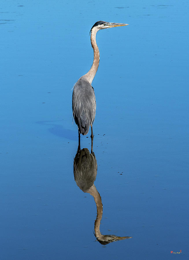 Great Blue Heron DMSB0165 by Gerry Gantt