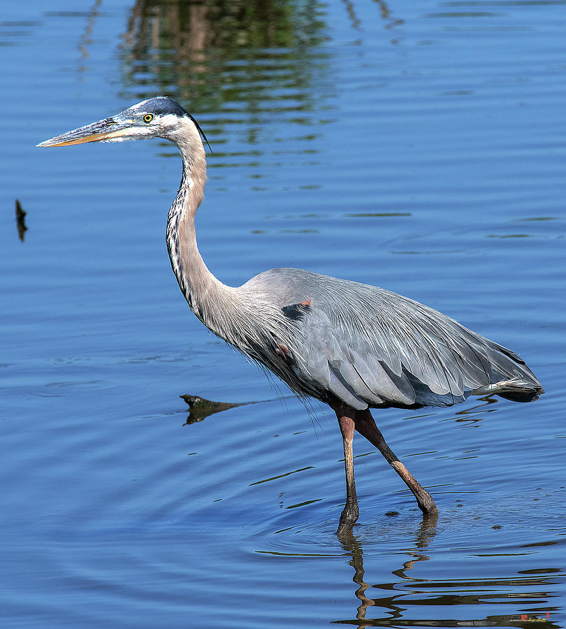 Great Blue Heron DMSB0167 by Gerry Gantt