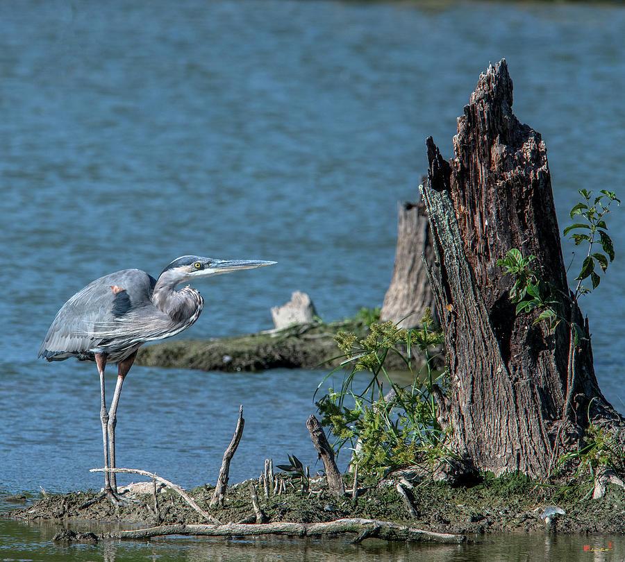 Great Blue Heron DMSB0213 by Gerry Gantt