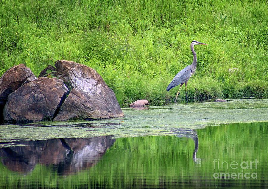 Great Blue Heron Photograph - Great Blue Heron Fishing by Karen Adams