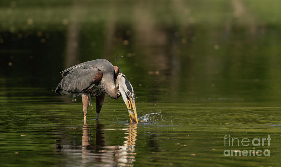 Great blue heron fishing by Sam Rino