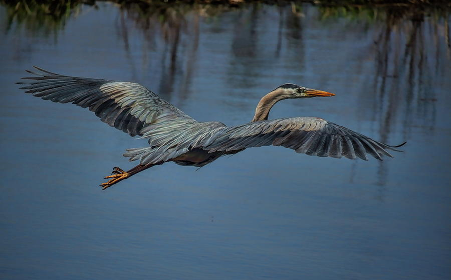 Great Blue Heron Gliding by Dale Kauzlaric