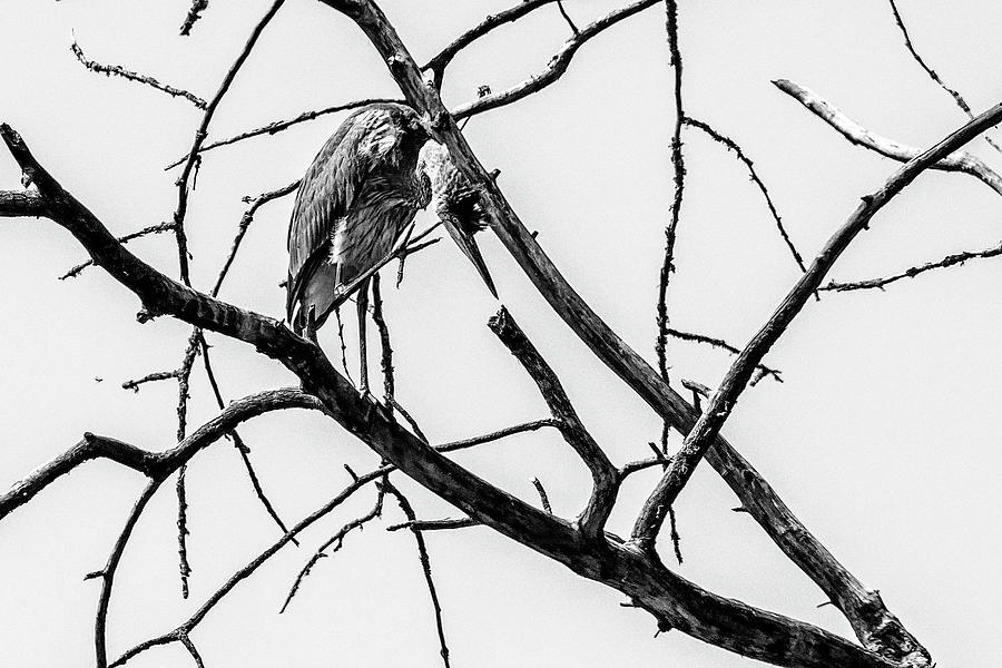 Great Blue Heron Hiding In a Bare Tree bw by Belinda Greb
