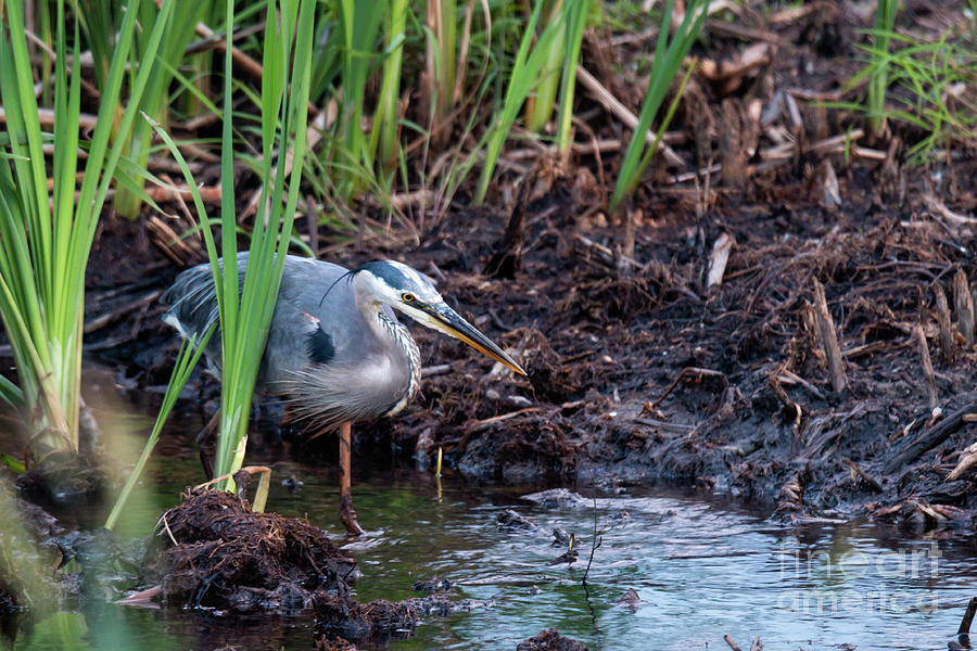 Great Blue Heron Hunting by Sheila Skogen