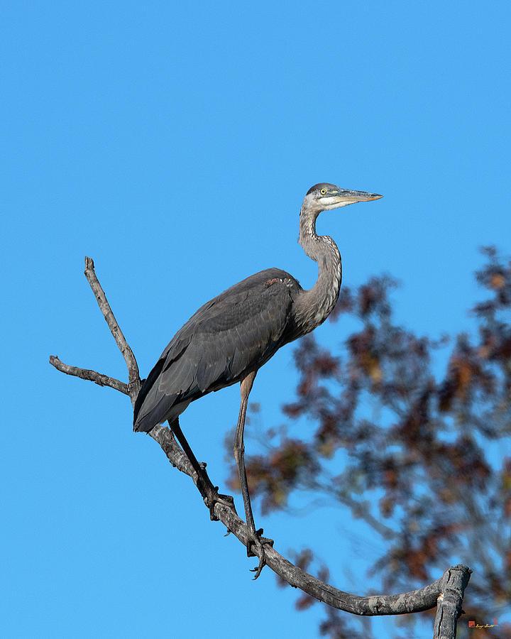 Great Blue Heron in a Tree DMSB0210 by Gerry Gantt