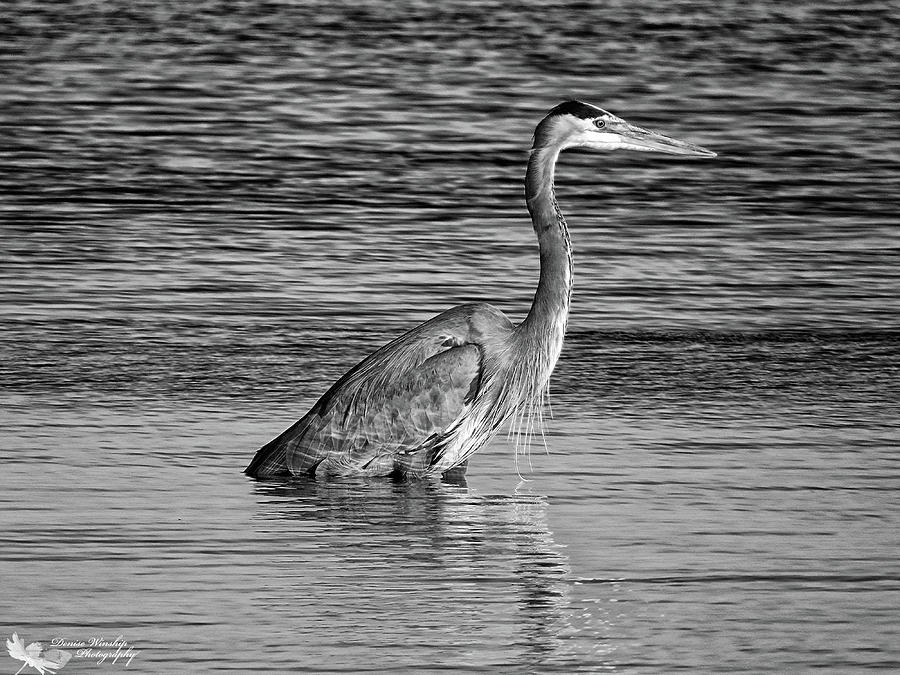 Great Blue Heron in Black and White by Denise Winship
