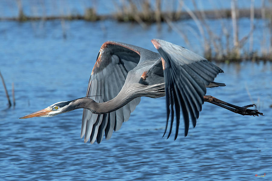 Great Blue Heron in Flight DMSB0151 by Gerry Gantt