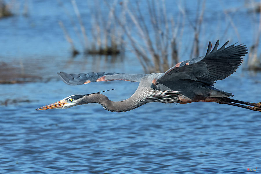 Great Blue Heron in Flight DMSB0152 by Gerry Gantt