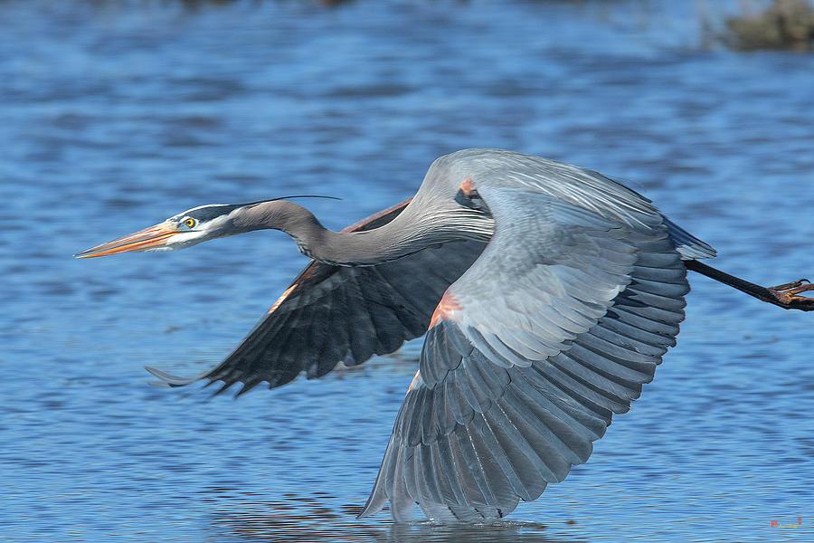 Great Blue Heron in Flight DMSB0153 by Gerry Gantt