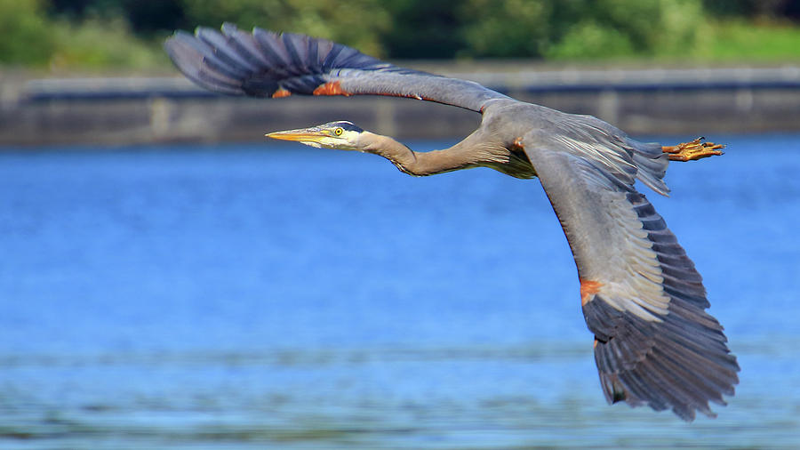 Great Blue Heron in flight by Hagen Pflueger