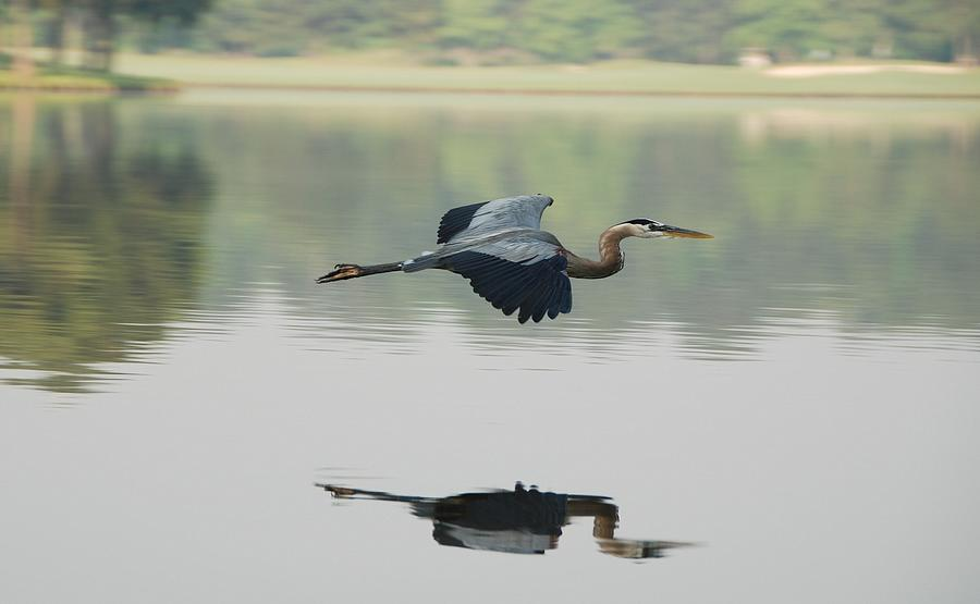 Great Blue Heron In Flight Photograph by Photo By Hannu & Hannele, Kingwood, Tx