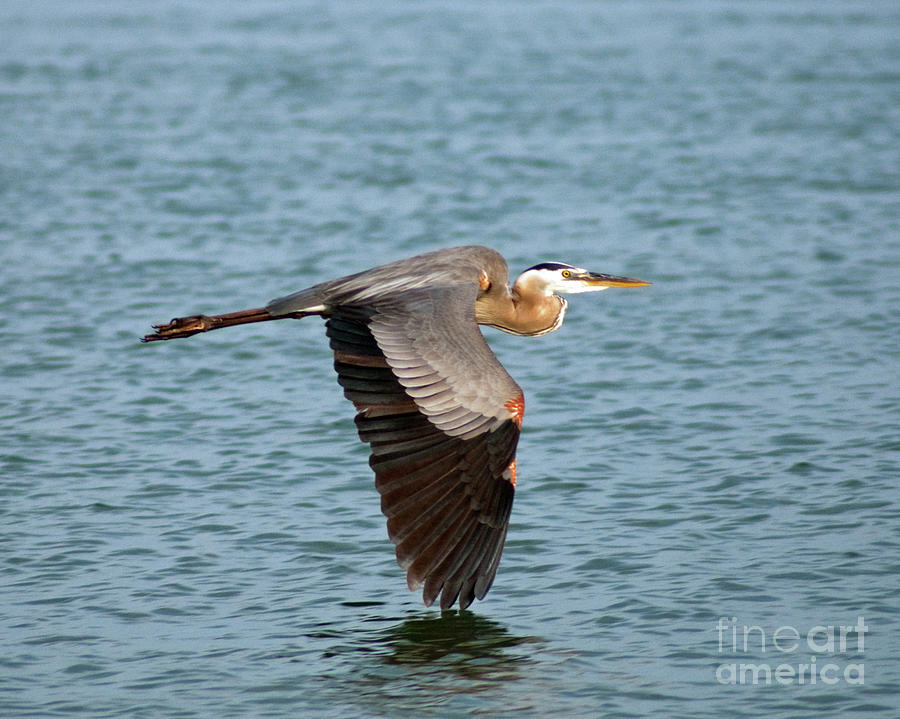 Great Blue Heron in Flight by Stephen Whalen