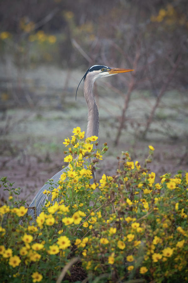 Great Blue Heron in flowers by Kenny Nobles