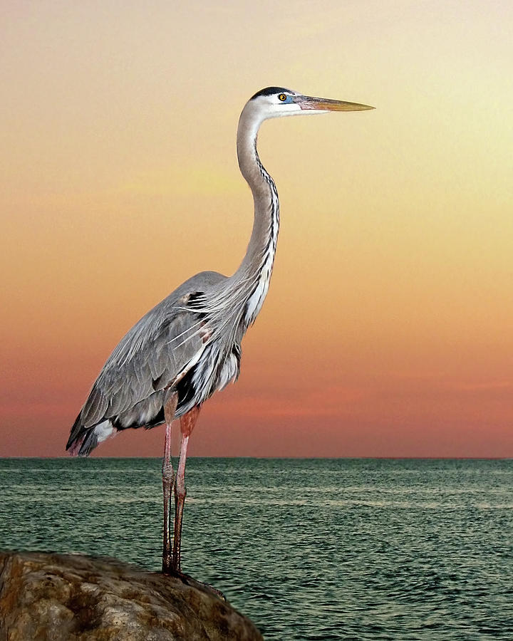Great Blue Heron In Seaside Sunset Photograph by Melinda Moore